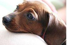 dach hound love