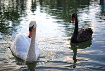 Cisne blanco y negro.