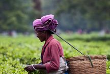 Assam | Tea of the Month for March
