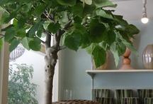"""tree """"umbellata"""" / ウンベラータ"""