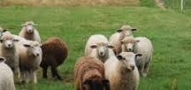 Foster Sheep Farm / Home of The Yarn Shop. We raise Romney, Wenslydale Crosses, BFL. Our focus is on producing a superior fleece.