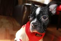Boston Terrier / by Maya Kolankowska