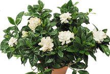 Garden - Gardenias