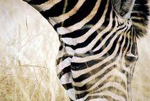 Velvet Zebras