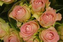 rosetyper