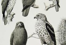 hawk, falcon