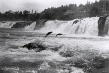 WILLAMETTE RIVER OREGON / Fly fishing the Willamette River in Oregon.