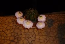 Our cactus in bloom / See how our cactus's blooming