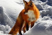Majestic Animals / Foxes, wolves, lions, tigers and big cats