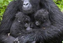 Primaten  Primates monkeys Bonobos Schimpansen