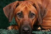 Rhodesian Ridgebacks/Dogs / by Jackie Partain