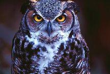 Owl Ke Totke