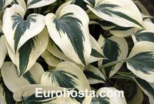 The best Hostas