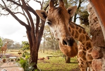 It's all about Giraffe / Giraffes to be happier