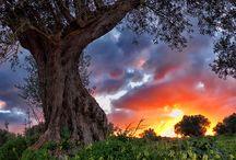 Bäume Oliven
