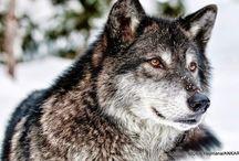 Sibirya Kurdu (Husky) / Sibirya kurdu ya da Haski (Husky),  yüzyıllarca kızak çekme, ren geyiği çobanlığı ve bekçilik görevlerinde kullanılmış bir köpek ırkıdır.