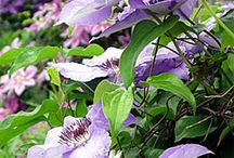 Clematis / by Pam S Sid