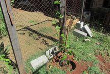 Meu pé de maracujá / plantas, jardim, fruta, cultivo, terapia.