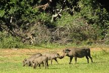 My African Wildlife / Wildlife Animls - South Africa