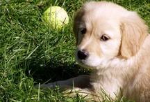BODZA - my lovely golden retriever dog