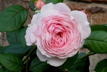Our Roses / These are some of our gorgeous blooms! Ask us about our tips & tricks.
