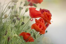 Reds / marsala, burgundy, garent red, poppy red