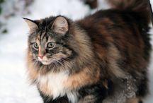 Norwegian Cat-ish