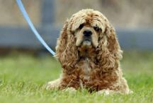 American Cocker Spaniel / American Cocker Spaniel dog breed pictures