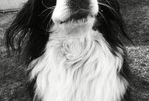 Bernese / Miley#dog#bernese#bernipásztor