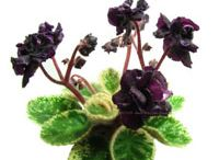 African Violet wishlist / by shannoetry