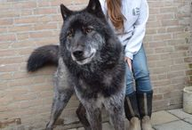 Amazing Dog Breeds / Dog breeds from around the world!
