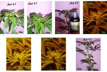 Cultivo de Bubu con Agrobeta 100% Orgánico / Cultivo indoor de Bubu con Agrobeta Black Line