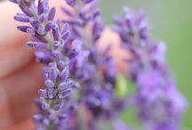 Lavender in England - Lavandas na Inglaterra / Elas elevam minha alma para muito alem da vida mundana, elas, enobrecem meu espirito e fortalecem meu corpo, purificam minha mente e trazem gentileza para meus sentimentos, assim são as Lavandas na  minha vida