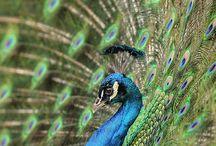 Pauw/peacock