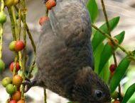 Vasa & Seychelles black parrot