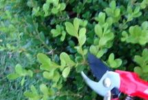 Garden maintenance- pruning