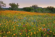 Texas Hill Country Wildflowers / The gorgeous wildflowers you can find around the Texas Hill Country / by The All Seasons Collection