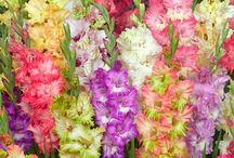 Parrot Gladiolus Bulbs