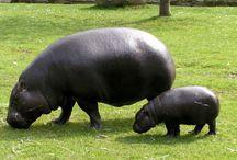 Hippos rule