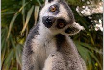lemurer
