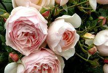 Elskede roser