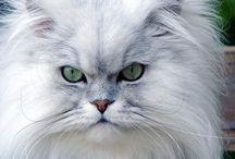 Pretty Persian Cats / Persian cats are beautiful.