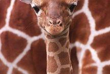 giraffer<3 / giraffer är så söta!!