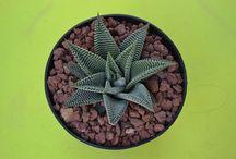 Cactusmania / Bienvenidos a latiendadelcactus.com, tienda online para comprar tus cactus favoritos, plantas increíbles que no dejarán de sorprenderte, así como accesorios originales y detalles para ese regalo tan especial...