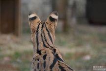 Servalcat