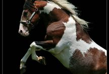 cavalli / Cavalli