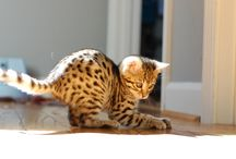Bengal Cat / Meet Grizabella! She is a beautiful Bengal cat that comes from a Supreme Grand Champion bloodline. She is the result from crossing a domestic feline with an Asian leopard cat. / by Grizabella Bengal Cat