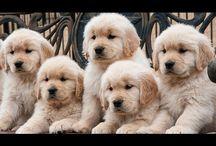 Videos Golden Retriver Puppies