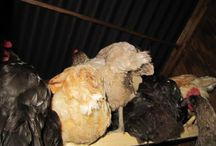 Chickens / My other obsession - my hens (and a couple of cockerels too)