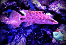 Wrasse / Aqua Dreams Collection of Wrasse. #wrasse